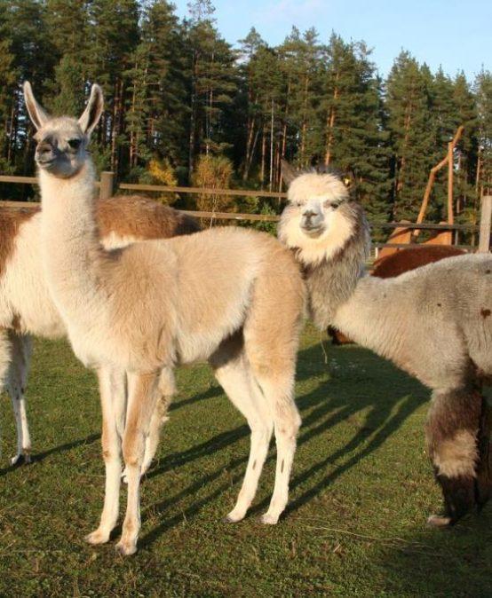"""Mazzalvieši ciemojas eksotisko dzīvnieku saimniecībā ,,Rakši"""""""